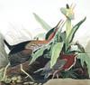 Art Prints of Green Heron by John James Audubon