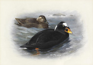 Art Prints of Surf Scoter by Archibald Thorburn