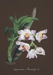 Art Prints of Chysis, No. 49, Orchid Collection
