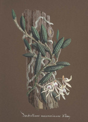 Art Prints of Dendrobium, No. 76, Orchid Collection