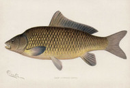 Art Prints of Carp by Sherman Foote Denton