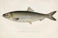 Art Prints of Sea Herring by Sherman Foote Denton