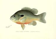 Art Prints of Long Eared Sunfish by Sherman Foote Denton