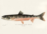 Art Prints of Canadian Red Trout, Young by Sherman Foote Denton
