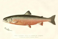 Art Prints of Sunapee Trout, Male by Sherman Foote Denton