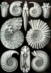 Art Prints of Ammonitida, Plate 44 by Ernest Haeckel