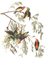 Art Prints of Crossbill by John James Audubon