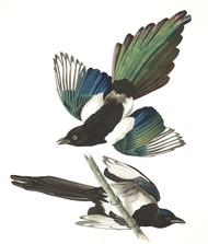 Art Prints of American Magpie by John James Audubon
