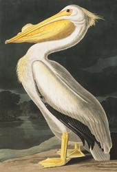 Art Prints of American White Pelican by John James Audubon