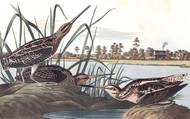 Art Prints of American Snipe by John James Audubon