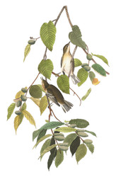 Art Prints of Autumnal Warbler by John James Audubon