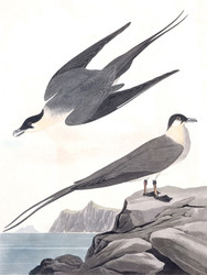 Art Prints of Arctic Yager by John James Audubon