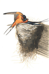 Art Prints of Barn Swallow by John James Audubon