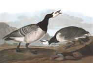 Art Prints of Barnacle Goose by John James Audubon
