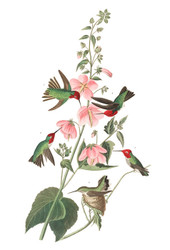 Art Prints of Columbian Hummingbird by John James Audubon