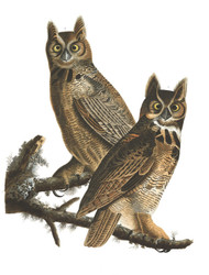 Art Prints of Great Horned Owl by John James Audubon