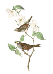 Art Prints of White Throated Sparrow by John James Audubon