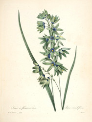 Art Prints of African Corn Lily, Plate 117 by Pierre-Joseph Redoute