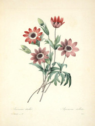 Art Prints of Anemone, Plate 24 by Pierre-Joseph Redoute