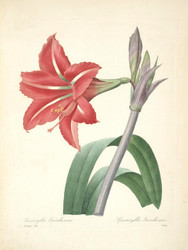 Art Prints of Brazilian Amaryllis, Plate 19 by Pierre-Joseph Redoute