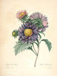 Art Prints of China Aster, Plate 124 by Pierre-Joseph Redoute