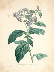 Art Prints of Heliotrope, Plate 97 by Pierre-Joseph Redoute