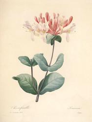 Art Prints of Honeysuckle, Plate 126 by Pierre-Joseph Redoute