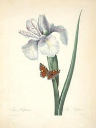 Art Prints of Iris, Plate 22 by Pierre-Joseph Redoute