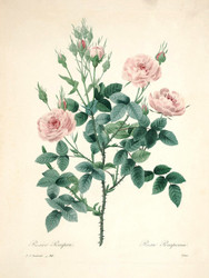 Art Prints of Pompon Rose, Plate 93 by Pierre-Joseph Redoute