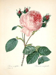 Art Prints of Rose, Plate 82 by Pierre-Joseph Redoute