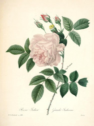 Art Prints of Tea Rose, Plate 125 by Pierre-Joseph Redoute