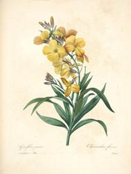 Art Prints of Wallflower, Plate 146 by Pierre-Joseph Redoute