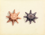 Art Prints of Starfish by W. B. Gould