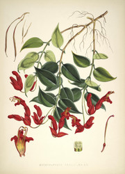 Art Prints of Aeschynanthus Peelii by Walter Hood Fitch