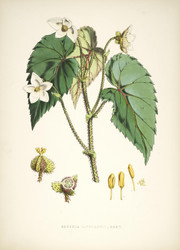 Begonia Cathcarti by Walter Hood Fitch