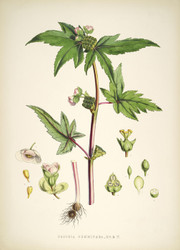Art Prints of Begonia Gemmipara by Walter Hood Fitch
