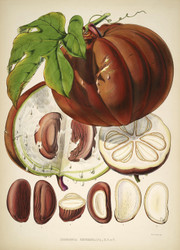 Hodgsonia Fruit by Walter Hood Fitch