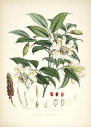 Art Prints of Michelia Cathcarti by Walter Hood Fitch