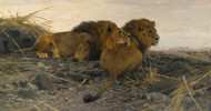 Art Prints of Lions at Watch by Wilhelm Kuhnert