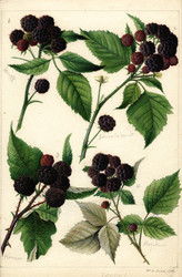 Art Prints of Black Raspberries by William Henry Prestele