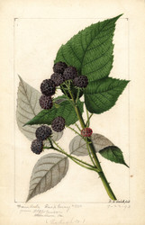 Art Prints of Ferndale Black Raspberries by William Henry Prestele