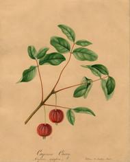 Art Prints of Surinam Cherry by William Henry Prestele