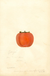 Art Prints of Zengi Persimmon I by William Henry Prestele
