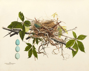 Art Prints of Black Billed Cuckoo Nest, Plate III, American Bird Nests