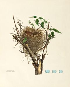 Art Prints of Black Throated Bunting Nest, Plate XXIX, American Bird Nests