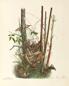 Art Prints of Blue Winged Yellow Warbler Nest, Plate XXXII, American Bird Nests