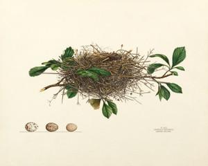 Art Prints of Cardinal Red Bird Nest, Plate XXII, American Bird Nests