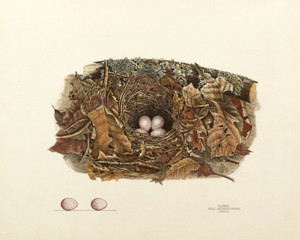 Art Prints of Chewink Nest, Plate XXXVII, American Bird Nests
