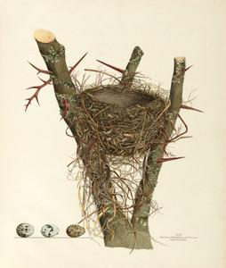 Art Prints of Crow Blackbird Nest, Plate VII, American Bird Nests