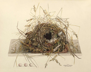 Art Prints of Great Carolina Wren Nest, Plate XI, American Bird Nests